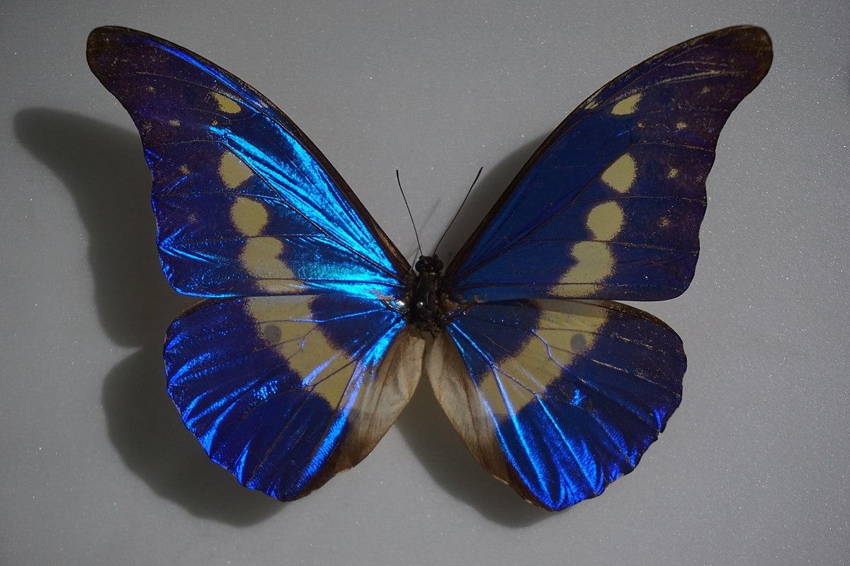 Morpho helena - Wikipedia