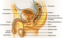Male anatomy de.png