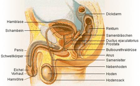 Harnblase – Biologie