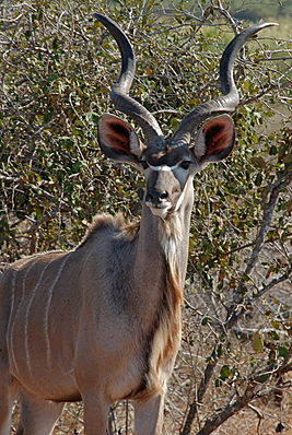 Großer Kudu (T. strepsiceros)