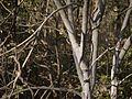Mallotus polycarpus (8503305374).jpg