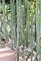 Malpighiales - Euphorbia canariensis - 2.jpg