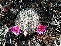 Mammillaria haageana (5736108429).jpg