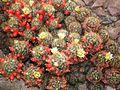 Mammillaria prolifera WZBGSG.JPG