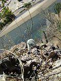 Mammillaria supertexta (5758991458).jpg