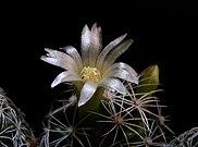 Mammillaria vetula ssp gracilis 14.jpg