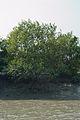 Mangroves - Riverbank Ichamati - Taki - North 24 Parganas 2015-01-13 4455.JPG