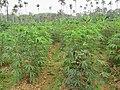 Manihot esculenta - Tapioca - Cassava at Periya (3).jpg