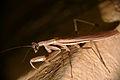 Mantis (Mantidae)(Id ?) (16462105997).jpg