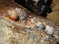 Marine snails - geograph.org.uk - 794815.jpg