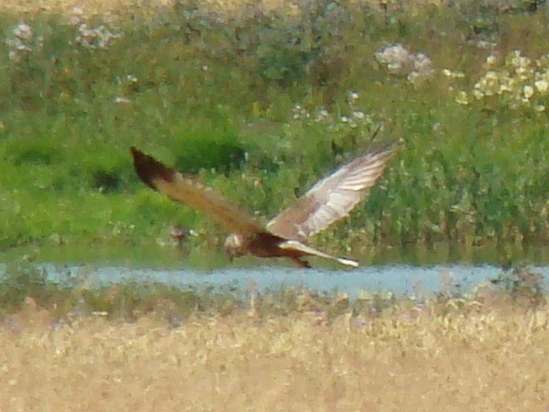 File:Marsh Harrier-Mindaugas Urbonas-2.jpg