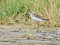Marsh Sandpiper (Tringa stagnatilis) (48701062141).jpg