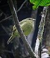Masius chrysopterus Saltarín moñudo Golden-winged Manakin (female) (11893958365).jpg