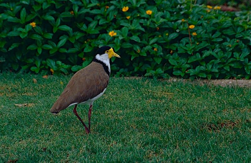 File:Masked Lapwing (Vanellus miles) (10559219306).jpg
