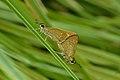 Mating pair of Borbo bevani (Moore, 1878) – Lesser Rice Swift WLB DSC 8309.jpg