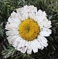 Matricaria chamomilla flower.jpg