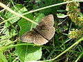 Meadow Brown butterfly (I think) - geograph.org.uk - 196626.jpg