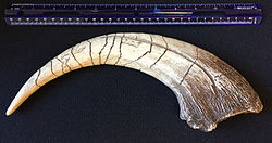 Megaraptor claw cast with scale.JPG