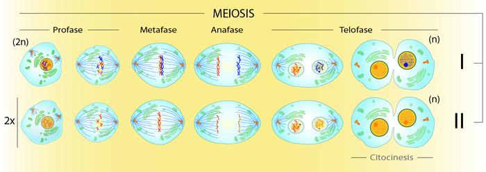 la meiosis y sus fase: