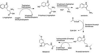 Melatonin - Overview of Melatonin Biosynthesis