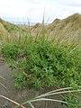 Melilotus indicus plant (08).jpg