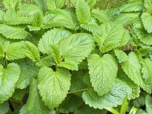 Lemon balm - Image: Melissa officinalis 01