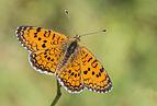 Melitaea collina - Hataylı İparhan 04.jpg