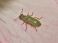 Melyridae - Danacea sp..JPG
