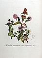Mentha aquatica var. capitata — Flora Batava — Volume v8.jpg