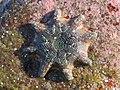 Meridiastra calcar (28677704538).jpg