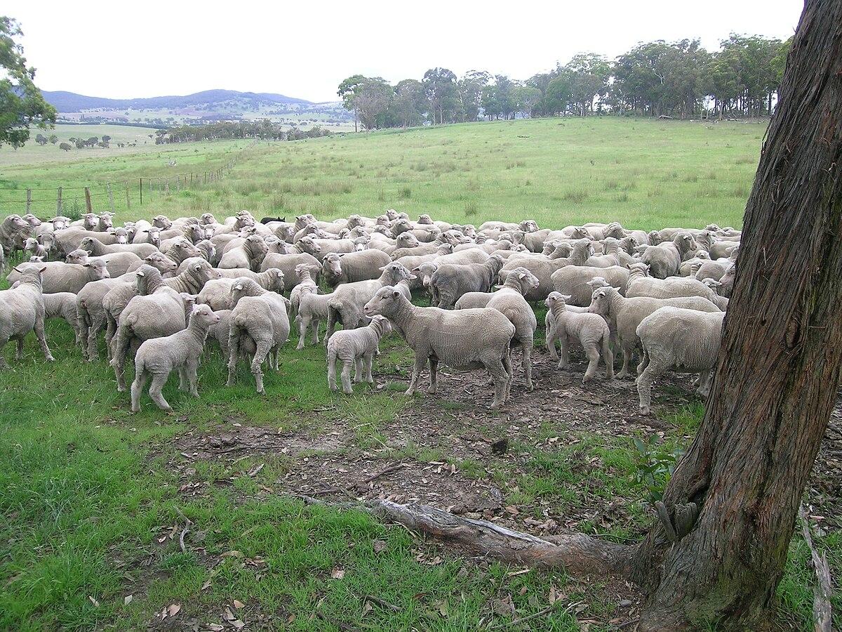 Merino ewes & lambs.JPG