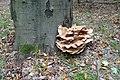 Meripilus giganteus 75180176.jpg