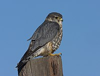 Merlin (Falco columbarius richardsonii) (2276417896).jpg