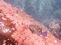 Mero chino (Cirrhitus rivulatus), isla de San Cristóbal, islas Galápagos, Ecuador, 2015-07-25, DD 17.JPG