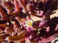 Mesembryanthemum nodiflorum Montana Roja - flowers.jpg