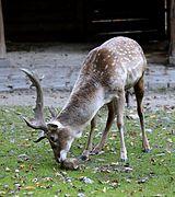 Mesopotamischer Damhirsch Dama dama mesopotamica Tierpark Hellabrunn-3.jpg