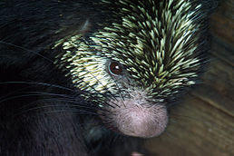Mexican-hairy-porcupine-1.jpg