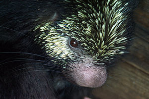 Mexican hairy dwarf porcupine - Image: Mexican hairy porcupine 1