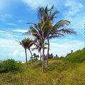 Miami Beach - Sand Dune Flora - Coconut Palms.jpg