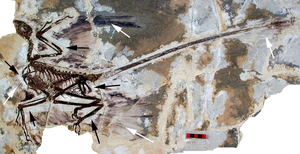 Feathered dinosaur - Fossil of Microraptor gui includes impressions of feathered wings (see arrows)