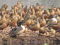 Migratory Birds - Santragachi Lake - Howrah 2012-01-26 1520.JPG