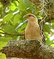 Milvago chimachima (Pigua - Garrapatero caucano) - Flickr - Alejandro Bayer.jpg