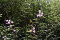 Mimosa pudica varDSC 9384.jpg
