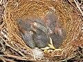 Mimus polyglottos seven days old 02.jpg