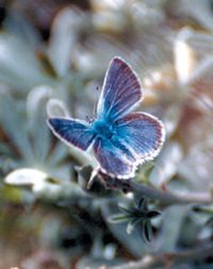 Mission blue butterfly - Image: Missionblue