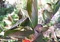 Misumena vatia protecting nest.jpg