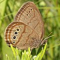 Mitchell's Satyr butterfly.jpg