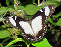 Mocker Swallowtail, top side.jpg