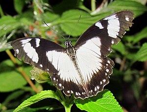 Papilio dardanus - Dorsal view