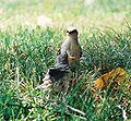 Mockingbird Feeding Chick033.jpg